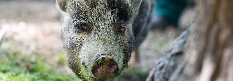 Nahaufnahme von einem Schwein